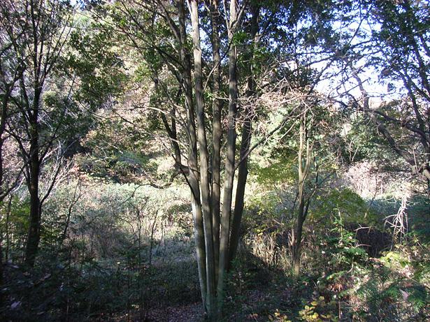 堺自然ふれあいの森のシリブカガシ