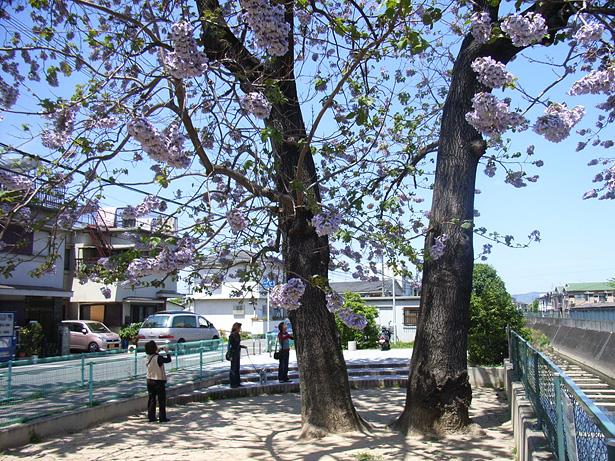 天竺川児童公園のキリ