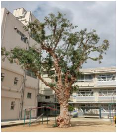 堺市立五箇荘小学校のユーカリ