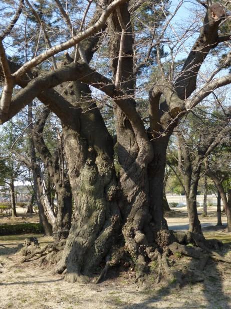 開成山公園のソメイヨシノ